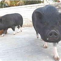 Adopt A Pet :: Bonnie & Clyde - Las Vegas, NV