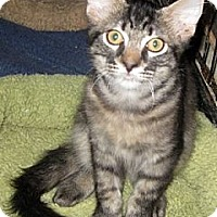 Adopt A Pet :: Dakari - Dallas, TX