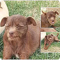 Adopt A Pet :: Lexi - San Antonio, TX