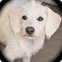 Adopt A Pet :: Marlee - La Habra Heights, CA