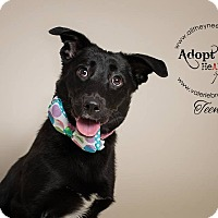 Labrador Retriever Dog for adoption in Medford, New Jersey - Teena