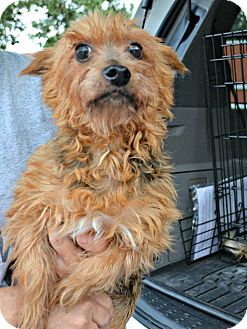 Yorkie, Yorkshire Terrier/Poodle (Miniature) Mix Dog for adoption in PT ORANGE, Florida - Jeffrey