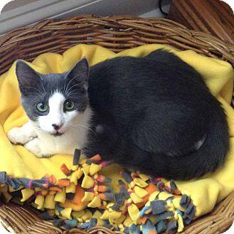 Domestic Shorthair Kitten for adoption in McCormick, South Carolina - Bruno