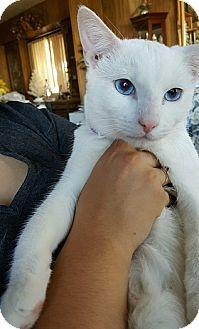 Domestic Shorthair Cat for adoption in Alhambra, California - Cody