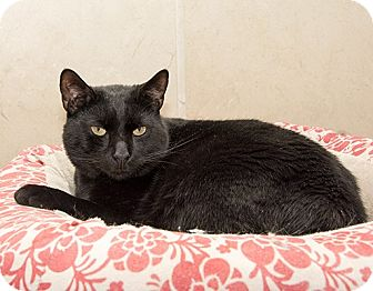 Domestic Shorthair Cat for adoption in Wilmington, Delaware - Starkey