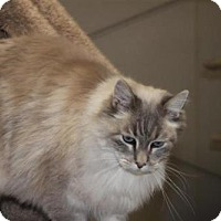 Adopt A Pet :: Himachi - Incline Village, NV