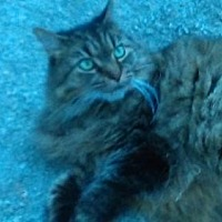 Maine Coon Cat for adoption in Gainsville, Georgia - GA - Abby (CP)