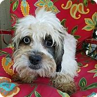 Adopt A Pet :: BROWNIE - Inland Empire, CA