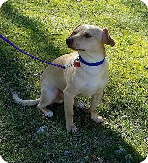 Dachshund/Dachshund Mix Dog for adoption in richmond, Virginia - MEKO