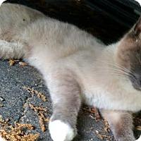 Adopt A Pet :: Little Teddy - Alexandria, VA