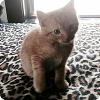 American Shorthair Kitten for adoption in Naugatuck, Connecticut - Dakota
