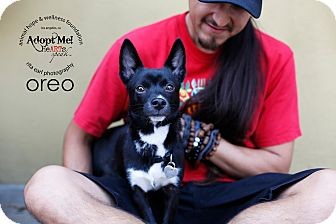 Jack Russell Terrier/Rat Terrier Mix Puppy for adoption in Sherman Oaks, California - Oreo
