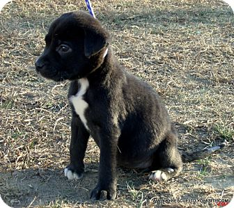 Border Collie/Labrador Retriever Mix Puppy for adoption in Waterbury, Connecticut - LULU/ADOPTED