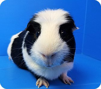 Guinea Pig for adoption in Lewisville, Texas - Jabberwocky