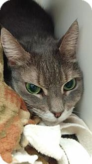 Domestic Shorthair Cat for adoption in Reisterstown, Maryland - Missy
