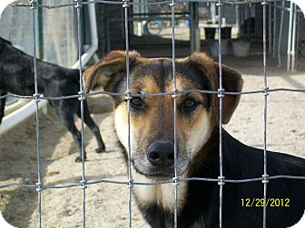 Chow Chow/Shepherd (Unknown Type) Mix Dog for adoption in Mexia, Texas - Wendy