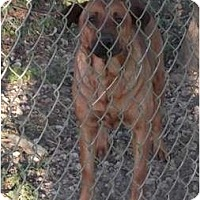 Shepherd (Unknown Type)/Labrador Retriever Mix Dog for adoption in Key Biscayne, Florida - Thorn