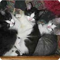 Adopt A Pet :: Munchkin - Davis, CA