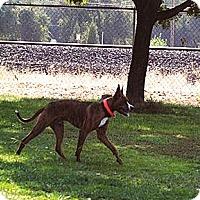 Adopt A Pet :: Bowser good boy - Sacramento, CA