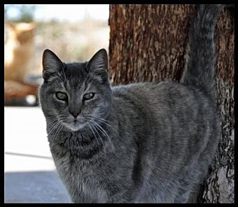 Domestic Shorthair Cat for adoption in Alamogordo, New Mexico - GIZMO