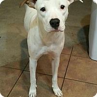Adopt A Pet :: Snowie - Scottsdale, AZ