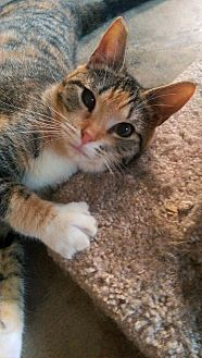 Domestic Shorthair Kitten for adoption in Yuba City, California - Tiny