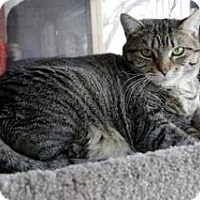 Domestic Shorthair Cat for adoption in Oak Park, Illinois - Marissa