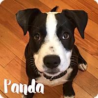 Adopt A Pet :: Panda - San Antonio, TX