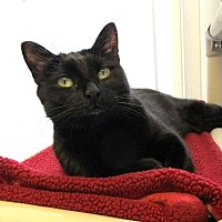 Domestic Shorthair Cat for adoption in Denver, Colorado - Onyx