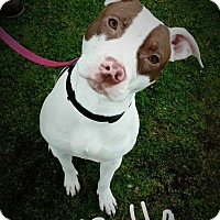 American Pit Bull Terrier Mix Dog for adoption in Lincoln, California - Bella