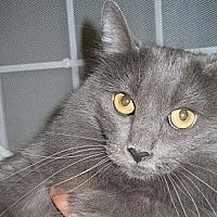 Domestic Longhair Cat for adoption in Ridgecrest, California - Uki