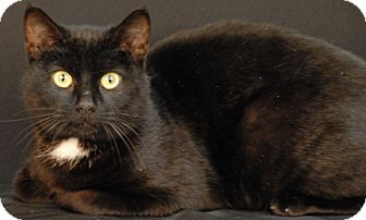 Domestic Shorthair Cat for adoption in Newland, North Carolina - Peter
