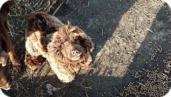 Cocker Spaniel Dog for adoption in Carey, Ohio - BONSAI