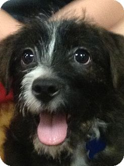 Terrier (Unknown Type, Small) Mix Puppy for adoption in Rockaway, New Jersey - Sarkie