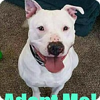 American Bulldog/Pit Bull Terrier Mix Dog for adoption in Mt. Clemens, Michigan - Memphis