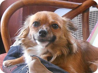 Chihuahua Mix Dog for adoption in San Diego, California - Barney
