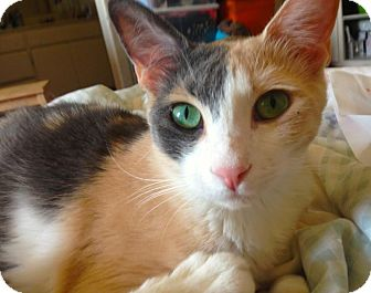 Domestic Shorthair Cat for adoption in Los Angeles, California - Mary