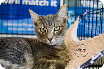 Domestic Shorthair Kitten for adoption in Charlotte, North Carolina - A..  Greyson