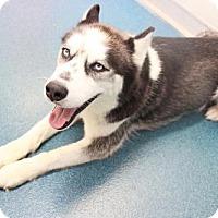 Husky Dog for adoption in Ponca City, Oklahoma - Cloud