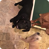 Adopt A Pet :: Bodie - Richmond, VA