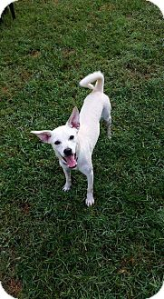 Chihuahua/Terrier (Unknown Type, Small) Mix Puppy for adoption in Clarksville, Tennessee - Hef