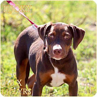 Labrador Retriever Mix Dog for adoption in DeForest, Wisconsin - Lucky