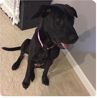 Shar Pei/Pointer Mix Dog for adoption in Manhattan, Kansas - Betsy-adoption pending
