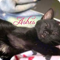 Adopt A Pet :: Ashes - York, PA