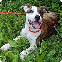 Adopt A Pet :: Delilah(18 lb) New Pics/Video - Burlington, VT