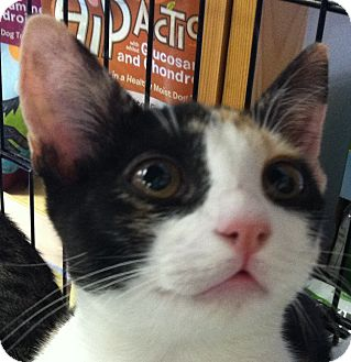 Domestic Shorthair Kitten for adoption in Winchester, California - Venice