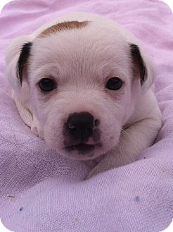 Jack Russell Terrier Mix Puppy for adoption in Somers, Connecticut - Buttons