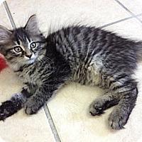 Adopt A Pet :: Teno Tan - Byron Center, MI