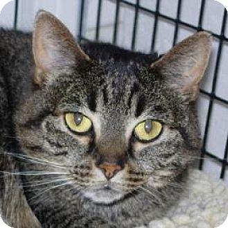 Domestic Shorthair Cat for adoption in Denver, Colorado - Princess