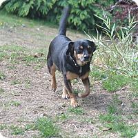Adopt A Pet :: Cici - Tumwater, WA